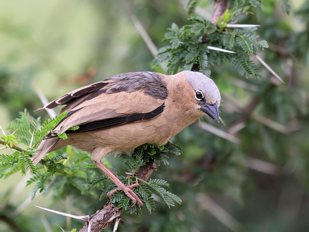 Bird of masai mara